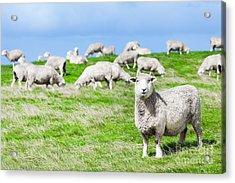 Sheeps Acrylic Print by MotHaiBaPhoto Prints