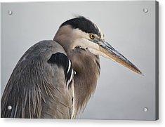 Great Blue Heron Acrylic Print by Paulette Thomas