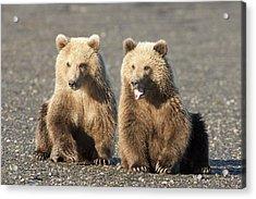 Grizzly Bear Ursus Arctos Horribilis Acrylic Print by Matthias Breiter