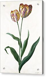 5 Tulip Tulip  Acrylic Print by Georg Dionysius Ehret