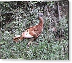 Wild Turkey Acrylic Print by Jack R Brock