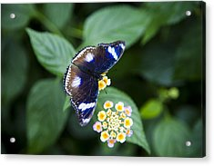 A Butterfly Rests On A Leaf Acrylic Print by Taylor S. Kennedy