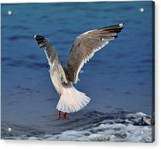 Seagull  Acrylic Print by Debra  Miller