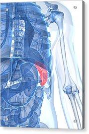 Healthy Spleen, Artwork Acrylic Print by Sciepro