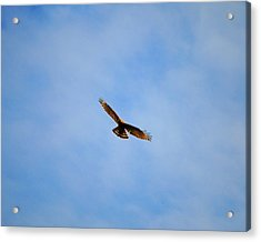 Red Shouldered Hawk In Flight Acrylic Print by Jai Johnson