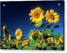 Sunflowers  Acrylic Print by Bernard Jaubert