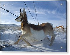 A Barbed Wire Fence Is An Obstacle Acrylic Print by Joel Sartore