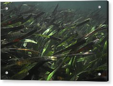 A Bed Of Sea Grass, Posidonia, Ripples Acrylic Print by Jason Edwards