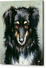 A Black And Tan Collie Acrylic Print by Robert Morley