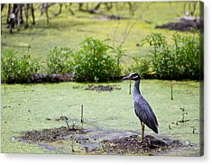 A Blue Bird In A Wetland -yellow-crowned Night Heron  Acrylic Print by Ellie Teramoto