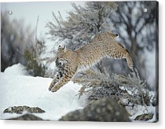 A Bobcat Leaps With A Horned Lark Acrylic Print by Michael S. Quinton