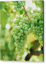 A Bunch Of Green Grapes Hanging From The Vine Acrylic Print by Victoria Pearson