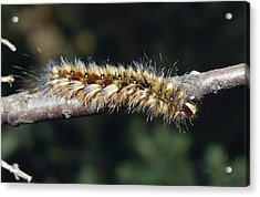 A Caterpillar In Defensive Posture Acrylic Print by Jason Edwards