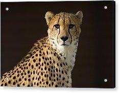 A Cheetah Acinonyx Jubatus Urinates Acrylic Print by Joel Sartore