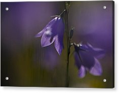 A Close-up Image Of Mountain Hairbells Acrylic Print by Ralph Lee Hopkins