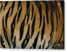 A Close View Of The Patterned Skin Acrylic Print by Michael Nichols