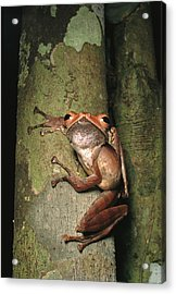 A Collets Tree Frog Rhacophorus Colleti Acrylic Print by Tim Laman