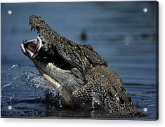 A Crocodile Eats A Giant Perch Fish Acrylic Print by Belinda Wright