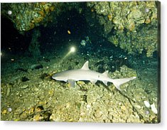 A Diver Exploring A Cavern Encounters Acrylic Print by Tim Laman