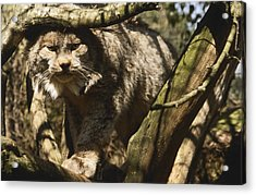A Female Northern Lynx With Her Thick Acrylic Print by Jason Edwards