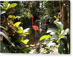 A Flamingo Wades In Shallow Water Acrylic Print by Taylor S. Kennedy
