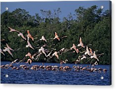 A Flock Of Flamingos Phoenicopterus Acrylic Print by Kenneth Garrett