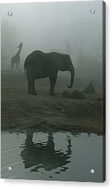 A Giraffe And Elephant Live In The Same Acrylic Print by Michael Nichols