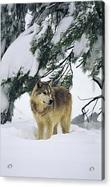 A Gray Wolf Stands Under Acrylic Print by Norbert Rosing