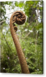 A Hawaiian Tree Fern Fiddlehead Reaches Acrylic Print by Taylor S. Kennedy