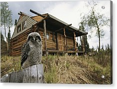 A Hawk Owl Sits On A Stump Near A Log Acrylic Print by Michael S. Quinton