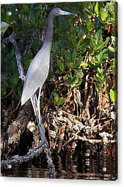 A Heron Type Bird In The Mangroves Acrylic Print by Judy Via-Wolff