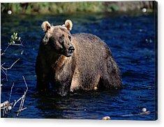 A Kodiak Brown Bear Wades In An Alaska Acrylic Print by George F. Mobley