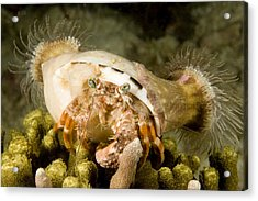 A Large Hermit Crab With Sea Anemones Acrylic Print by Tim Laman