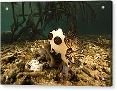 A Large Nudibranch Feeds On A Sponge Acrylic Print by Tim Laman