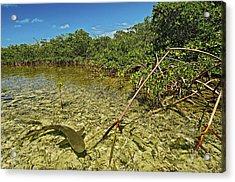 A Lemon Shark Pup Swims Among Mangrove Acrylic Print by Brian J. Skerry