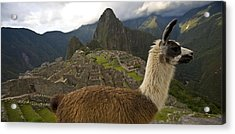 A Llama And Reconstructed Stone Acrylic Print by Michael Melford