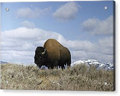 A Magnificent American Bison Bull Bison Acrylic Print by Dr. Maurice G. Hornocker