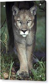A Mesmerising Glare Of A Stalking Puma Acrylic Print by Jason Edwards