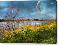 A Moment In Time In The Journey Of The Great White Egret . 7d12643 Acrylic Print by Wingsdomain Art and Photography