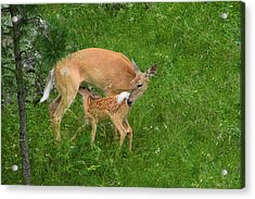 A Mother's Love - Doe And Fawn Acrylic Print by Christine Till