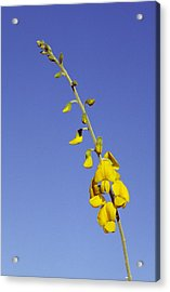 A New-holland Rattlepod, Crotalaria Acrylic Print by Jason Edwards