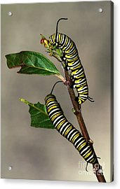 A Pair Of Monarch Caterpillars Acrylic Print by Sabrina L Ryan