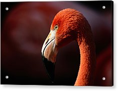 A Portrait Of A Captive Greater Acrylic Print by Tim Laman