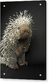 A Prehensile-tailed Porcupine Coendou Acrylic Print by Joel Sartore