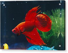 A Red Siamese Fighting Fish In An Acrylic Print by Jason Edwards