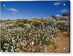 A Riot Of Wild Stock Flowers And Annual Acrylic Print by Jason Edwards