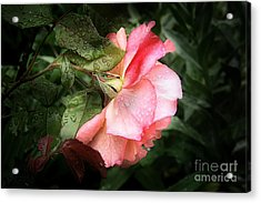 A Rose Is A Rose Acrylic Print by VIAINA Visual Artist