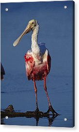 A Roseate Spoonbill Wades The Mud Acrylic Print by Klaus Nigge