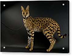 A Serval Leptailurus Serval Acrylic Print by Joel Sartore