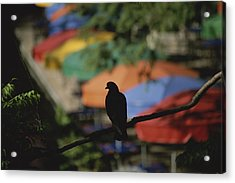 A Silhouetted Pigeon Surveys Acrylic Print by Stephen St. John